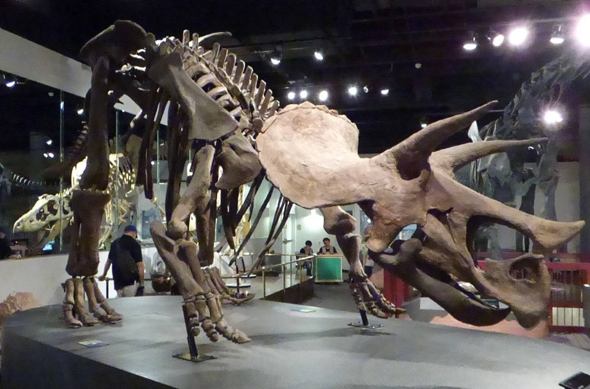 Triceratops-fossil