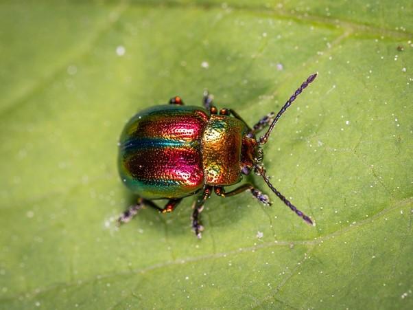 figeater beetles